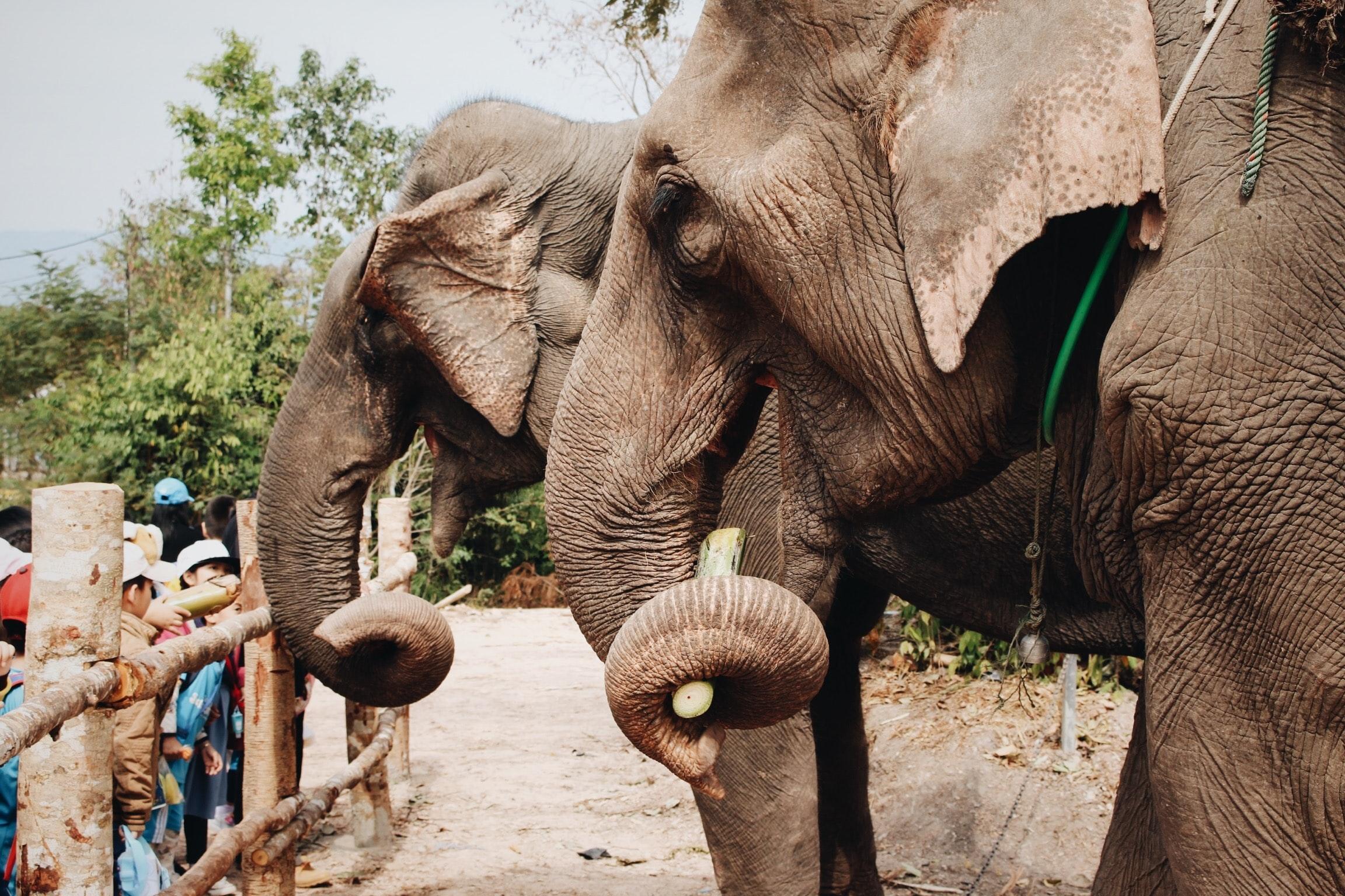éléphants face aux visiteurs d'un parc animalier